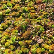 Giant Salvinia. Photo: Kevin Roberts