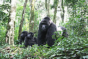 Eastern Gorilla (Gorilla beringei). Photo: Ron Ritchie