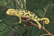 The Graceful Chameleon (Chamaeleo gracilis) is a species endemic to the Albertine Rift. Photo: Paul Freed
