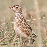 Sidamo Lark (Heteromirafra sidamoensis) Photo: BirdLife - Greg Davies
