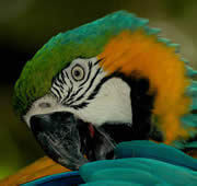 A Blue-and-yellow-macaw in the Bird Park of Iguaçu, Brazil. Photo: IUCN Photo Library © Imène Meliane
