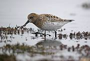 Spoon-billed Sandpiper. Photo: MJMcGill