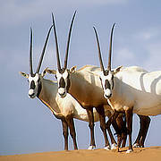 Arabian Oryx. Photo: © David Mallon