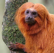 Golden Lion Tamarin. Photo: SavingSpecies