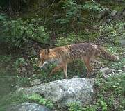 Red Fox. Photo: Camera trap