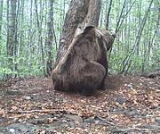 Brown Bear. Photo: Camera trap