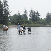 Local people planting mangroves. Photo: IUCN Viet Nam