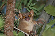 Northern Giant Mouse Lemur (Mirza zaza). Photo: Johanna Rode/Bristol Conservation and Science Foundation