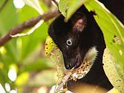 Male Sclater's black lemur (also called blue-eyed black lemur). Photo: Nora Schwitzer of Bristol Conservation and Science Foundation