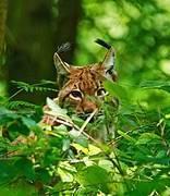 Lynx lynx. Photo: Miha Krofel