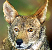 Red Wolf <i>Canis rufus</i> Photo: © Kim Wheeler, Red Wolf Coalition