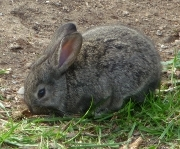 "The Rabbit (Oryctolagus cuniculus) is ""nearly threatened"" in its native range in the southern Iberian Peninsula, but outside its natural range can be a key driver of ecosystem change, as it can cause extensive erosion of soils by overgrazing and burrowing which in turn can cause significant impact on the composition and local abundance of native wildlife. Photo: Riccardo Scalera"