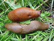 The Spanish slug (Arion vulgaris) is becoming a real nuisance in Nordic European countries where it has been recently introduced as it feeds on horticultural plants in private kitchen and vegetable gardens and in agricultural fields. Photo: Riccardo Scalera