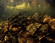 Sawfin Spawning. Photo: Tom Peschak