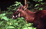 A young Saola. Photo: David Hulse