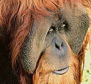 Sumatran orangutan. Photo: http://www.flickr.com/photos/peterjbaer