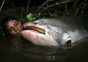 Mekong Giant Catfish (Pangasianodon gigas). Photo: Zeb Hogan