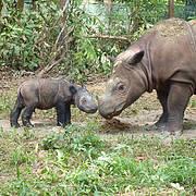 Andatu; the first Sumatran Rhino born in captivity in Indonesia. Photo: International Rhino Foundation/S.Ellis