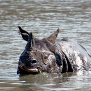 Greater One-horn rhinoceros at the Chitwan National Park, Nepal. Photo: Andrew Gell