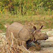 Greater One-horned Rhinoceros (Rhinoceros unicornis) in the Manas Wildlife Sanctuary, India. Photo: Remco van Merm