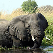 African Elephant (Loxodonta africana). Photo: Alicia Wirz