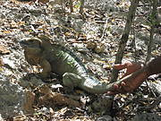 Hope Zoo keeper releasing a head-started Jamaican Iguana. Photo: Tandora Grant