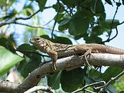 Jamaican Iguana (Cyclura collei) - juvenile in tree. Photo: Rick Van Veen