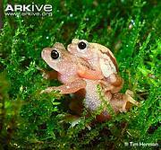 Kihansi spray toad (Nectophrynoides asperginis). Photo: ARKive - www.arkive.org