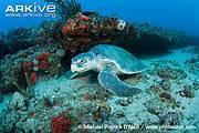 Kemp's ridley turtle (Lepidochelys kempii). Photo: ARKive - www.arkive.org