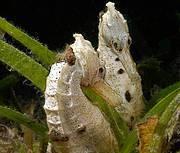Common Seahorse (Hippocampus kuda). Photo: Project Seahorse