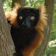 Red ruffed lemur. Photo: CI / Russell A. Mittermeier