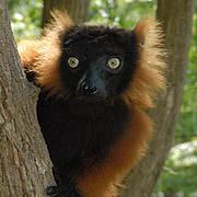 Red ruffed lemur. Photo: CI / Russell A. Mittermeier