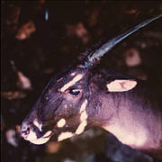 Female Saola (Pseudoryx nghetinhensis). Photo: William Robichaud
