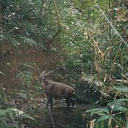 Wild Saola camera-trapped in Bolikhamxay Province, central Laos in 1999. Photo: William Robichaud