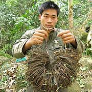 Patrol team with wire snares collected in saola habitat, central Laos (Nakai-Nam Theun National Protected Area), 2009. Photo: William Robichaud