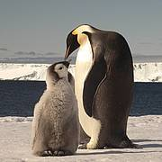 Emperor Penguin feeding chick. Photo: Ty Hurley