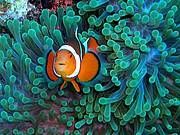 Clownfish. Photo: Flickr - Nemo's Great Uncle