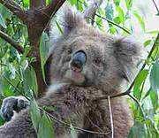 Koala, one of the species most affected by climate change. Photo: Guy Dutson