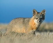 Island Fox: Near Threatened. Photo: Kevin Schafer, www.kevinschafer.com