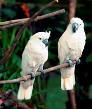 White Cockatoo: Endangered. Photo: Qihuii de Hanabi (CC BY-NC-ND 2.0) http://creativecommons.org/licenses/by-nc-nd/2.0/deed.en_GB