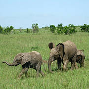 Young African Elephants (Loxodonta africana). Photo: Camellia Williams