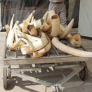 Ivory. Photo: CITES