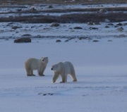 Polar Bears. Photo: Andrew E Derocher