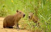 Capybara (Hydrochoerus hydrochaeris) Photo: Susan Loose