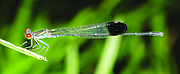 Disparoneura apicalis, a Vulnerable species of dragonfly from the Western Ghats Photo: Francy Kakkassery