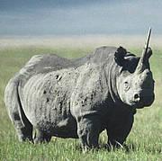 Black rhino (Diceros bicornis) Photo: IUCN / Jeffrey McNeely