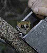 Madame Berthe's mouse lemur (Microcebus berthae). Photo: Russell A. Mittermeier