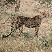 Cheetah (Acinonyx jubatus) Photo: IUCN Photo Library-Sue Mainka