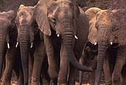 Mali elephants Photo: Carlton Ward Jr