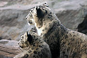 Snow Leopard parent and juvenile Photo: Snow Leopard Trust